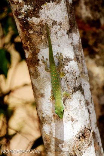 Madagascar giant day gecko (Phelsuma madagascariensis grandis) [madagascar_ankarafantsika_0225]