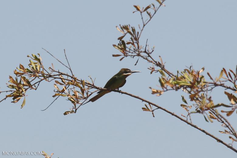 Malagasy Bee-eater (Merops superciliosus)