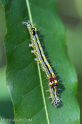 Blue, yellow, black, and red caterpillar [madagascar_ankarafantsika_0289]