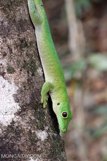 Madagascar giant day gecko (Phelsuma madagascariensis grandis) [madagascar_ankarafantsika_0312]