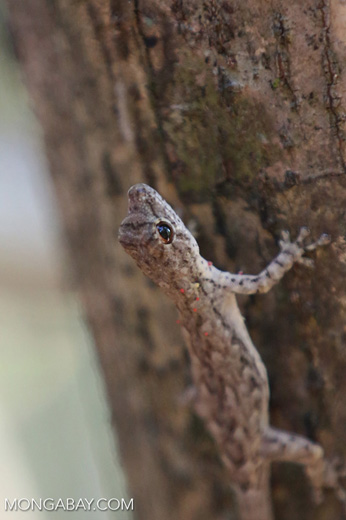 Lizard [madagascar_ankarafantsika_0337]