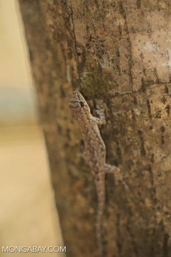 Lizard [madagascar_ankarafantsika_0338]