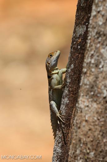 Madagascar spiny-tailed lizard (Oplurus cuvieri)