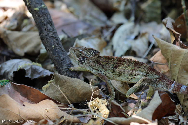 Malagasy giant chameleon (Furcifer oustaleti) [madagascar_ankarafantsika_0431]
