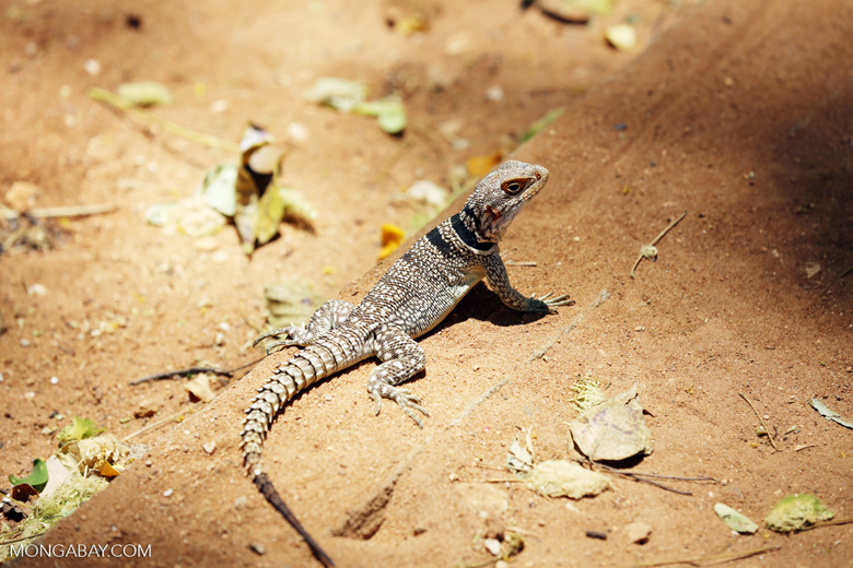 Madagascar spiny tailed iguana (Oplurus cuvieri) [madagascar_ankarafantsika_0455]