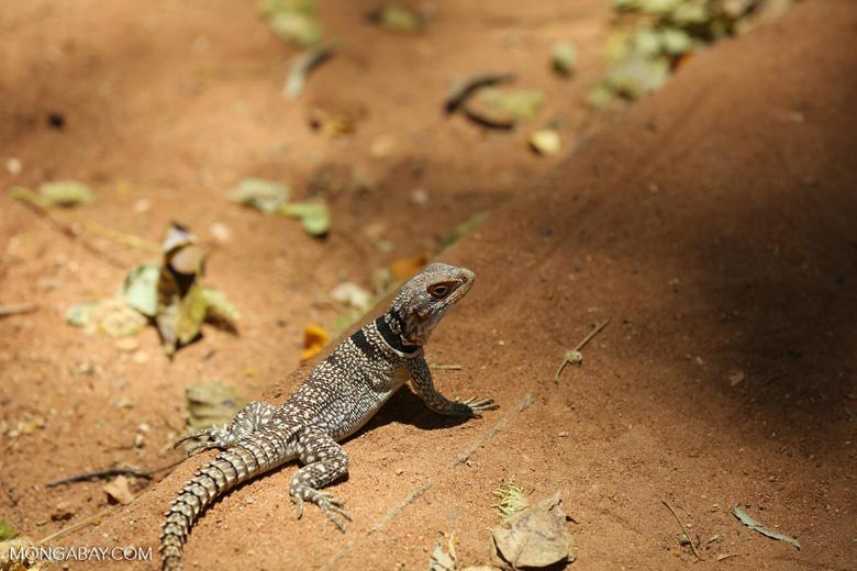 Malasay spiny-tailed iguana (Oplurus cuvieri)