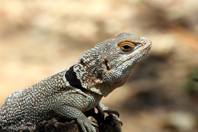 Madagascar spiny tailed iguanid. Photo by Rhett A. Butler.