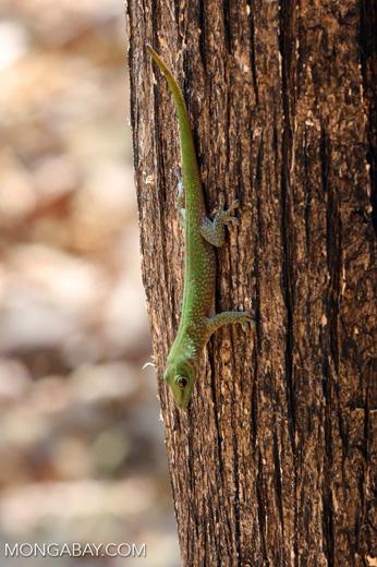 Madagascar giant day gecko (Phelsuma madagascariensis grandis) [madagascar_ankarafantsika_0466]
