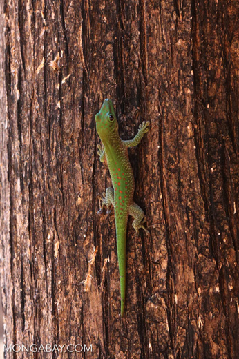 Madagascar giant day gecko (Phelsuma madagascariensis grandis) [madagascar_ankarafantsika_0469]