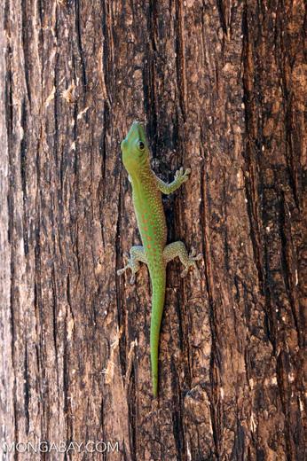 Madagascar giant day gecko (Phelsuma madagascariensis grandis) [madagascar_ankarafantsika_0470]
