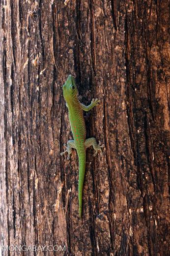 Madagascar giant day gecko (Phelsuma madagascariensis grandis) [madagascar_ankarafantsika_0472]