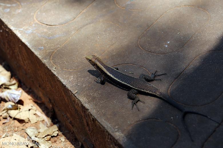 Zonosaurus laticaudatus with a forked tail [madagascar_ankarafantsika_0476]