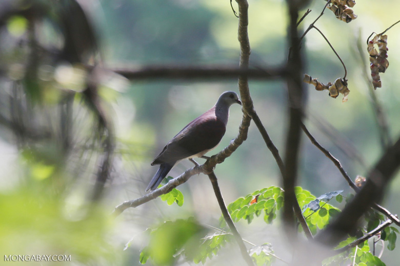 Malagasy Turtle Dove (Streptopelia picturata) [madagascar_ankarafantsika_0484]