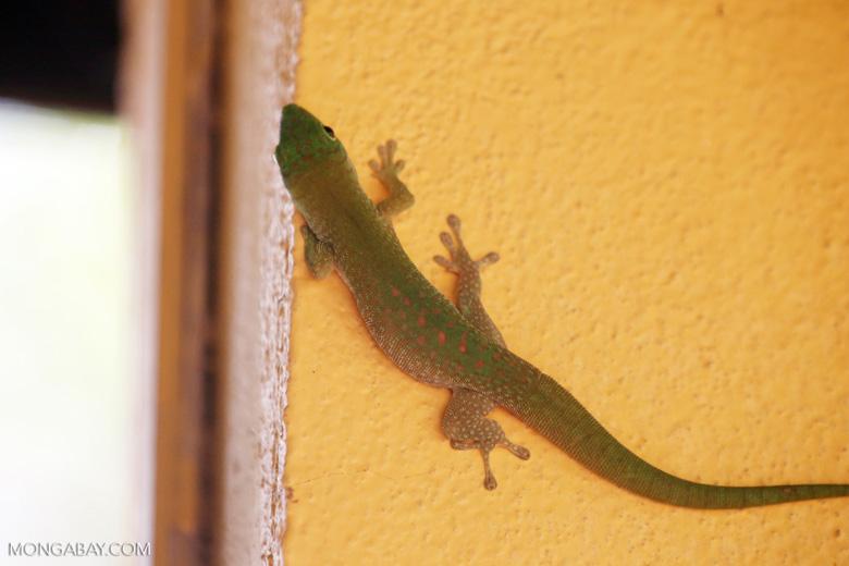 Madagascar giant day gecko (Phelsuma madagascariensis grandis) [madagascar_ankarafantsika_0487]