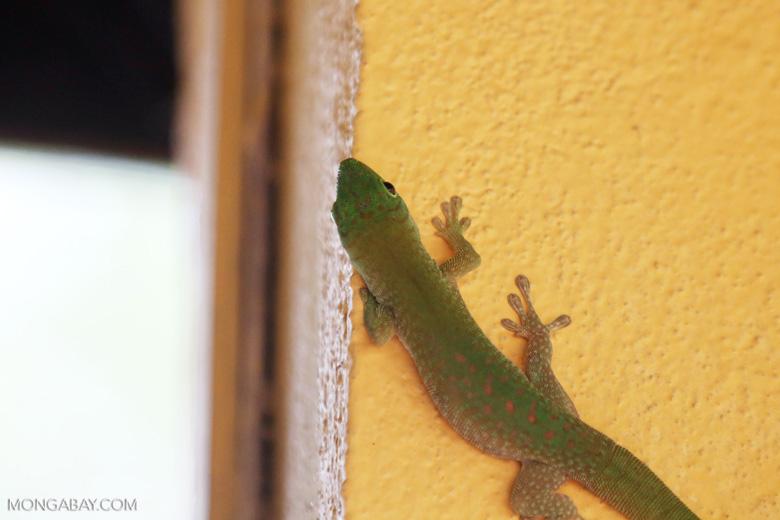 Madagascar giant day gecko (Phelsuma madagascariensis grandis) [madagascar_ankarafantsika_0488]