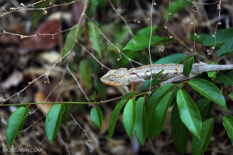 Malagasy giant chameleon [madagascar_ankarafantsika_0490]