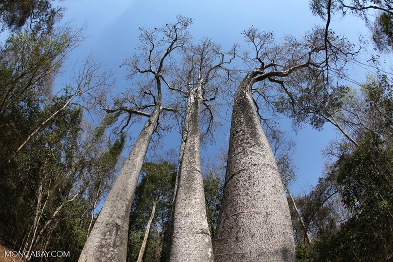 Adansonia madagascariensis baobab [madagascar_ankarafantsika_0500]