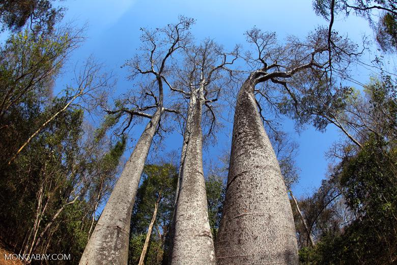 Adansonia madagascariensis baobab [madagascar_ankarafantsika_0501]