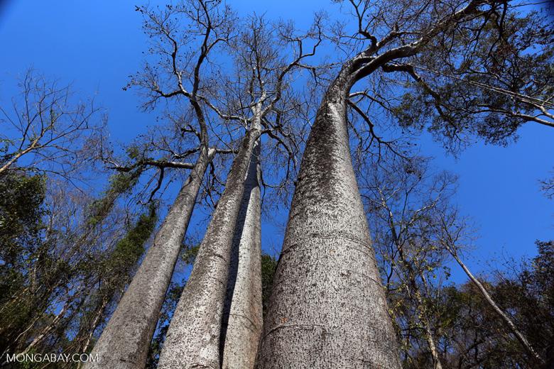 Adansonia madagascariensis baobab [madagascar_ankarafantsika_0505]