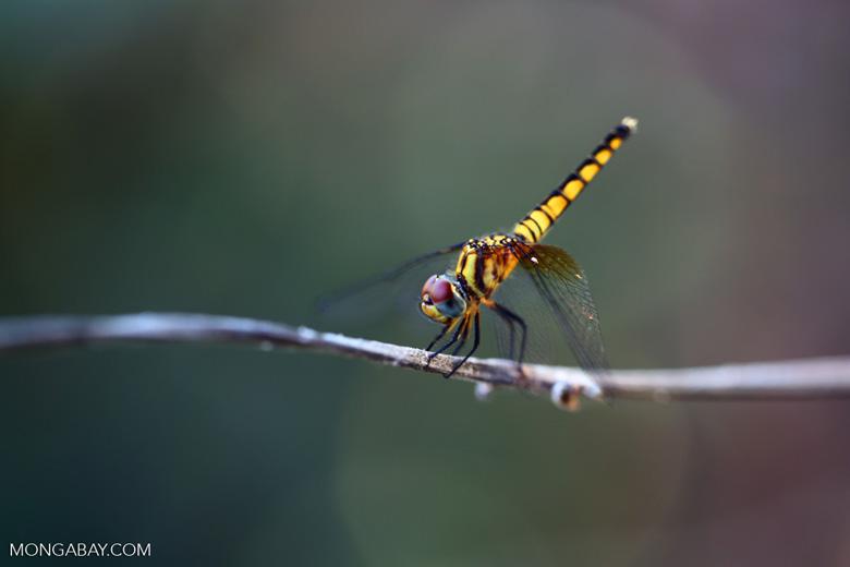 Yellow dragonfly with maroon eyes and blue cheeks [madagascar_ankarafantsika_0511]