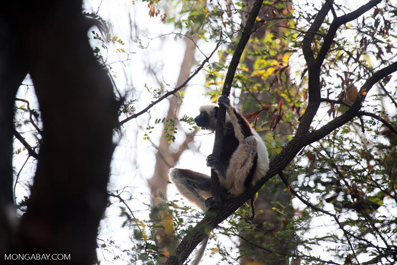 Coquerel's sifaka (Propithecus coquereli) [madagascar_ankarafantsika_0551]
