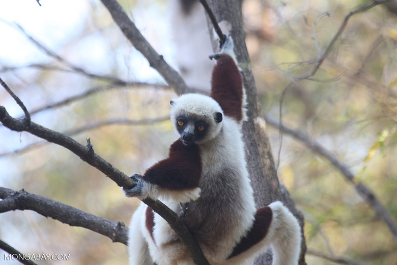 Coquerel's sifaka (Propithecus coquereli) [madagascar_ankarafantsika_0559]
