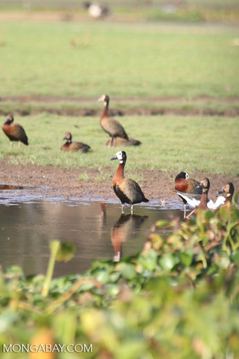 White-faced Whistling Ducks in Madagascar