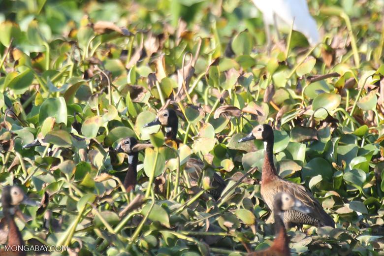 White-faced Whistling Ducks [madagascar_ankarafantsika_0600]