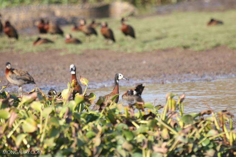 White-faced Whistling Ducks [madagascar_ankarafantsika_0606]