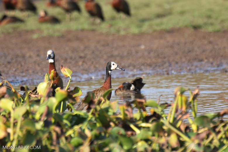 White-faced Whistling Ducks [madagascar_ankarafantsika_0608]
