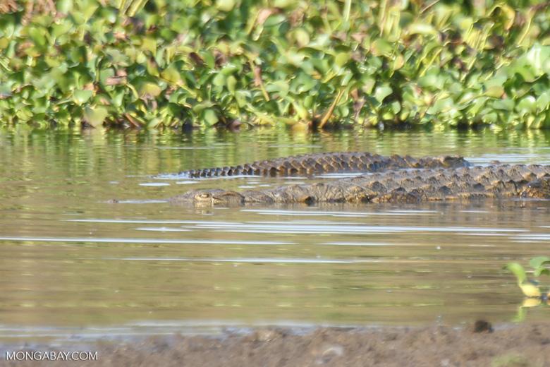 Madagascar Nile crocodile [madagascar_ankarafantsika_0622]