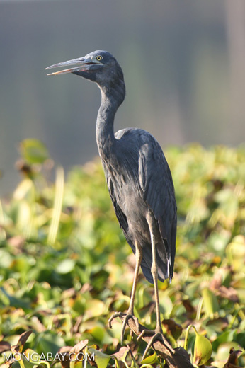Humblot's Heron (Ardea humbloti) [madagascar_ankarafantsika_0630]