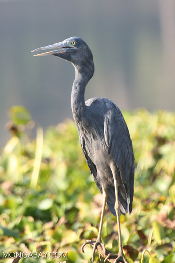 Humblot's Heron (Ardea humbloti) [madagascar_ankarafantsika_0632]