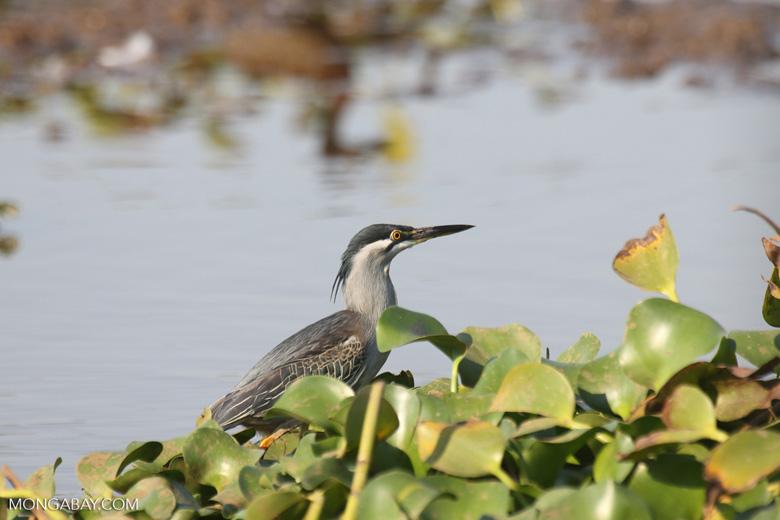 Striated Heron (Butorides striata) [madagascar_ankarafantsika_0635]
