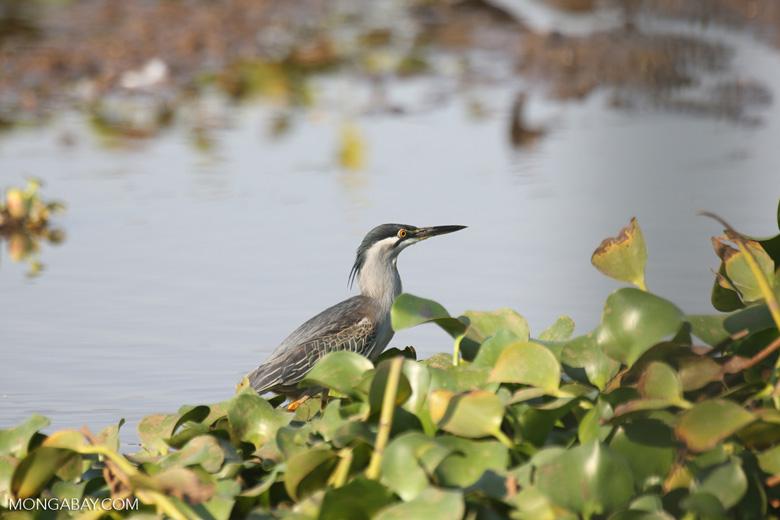 Striated Heron (Butorides striata) [madagascar_ankarafantsika_0637]