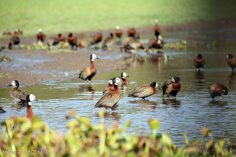 Striated Heron (Butorides striata) [madagascar_ankarafantsika_0642]