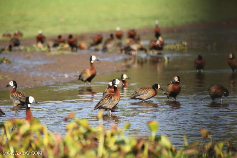 Striated Heron (Butorides striata) [madagascar_ankarafantsika_0643]