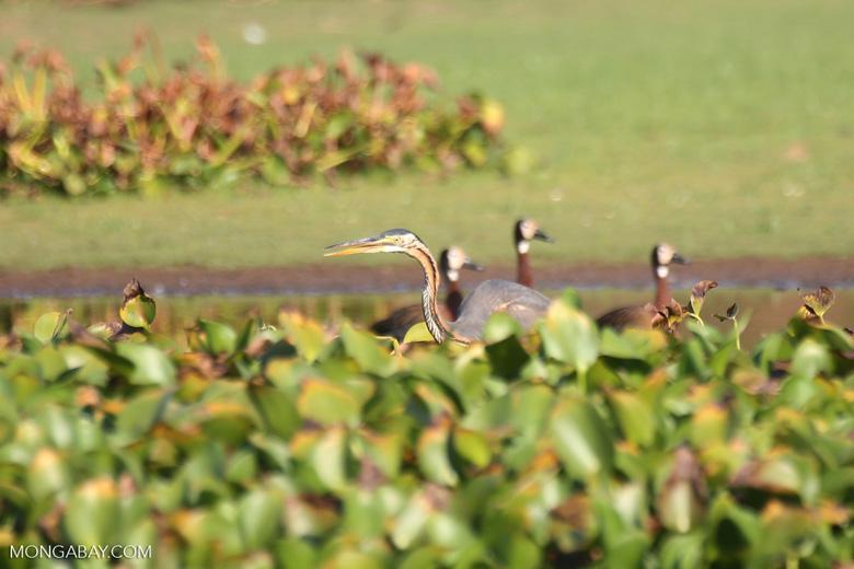 Striated Heron (Butorides striata) [madagascar_ankarafantsika_0644]