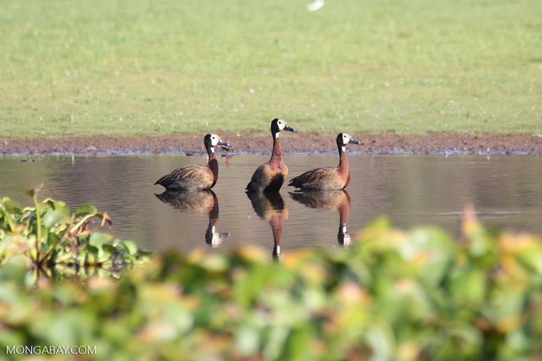 White-faced Whistling Ducks [madagascar_ankarafantsika_0648]