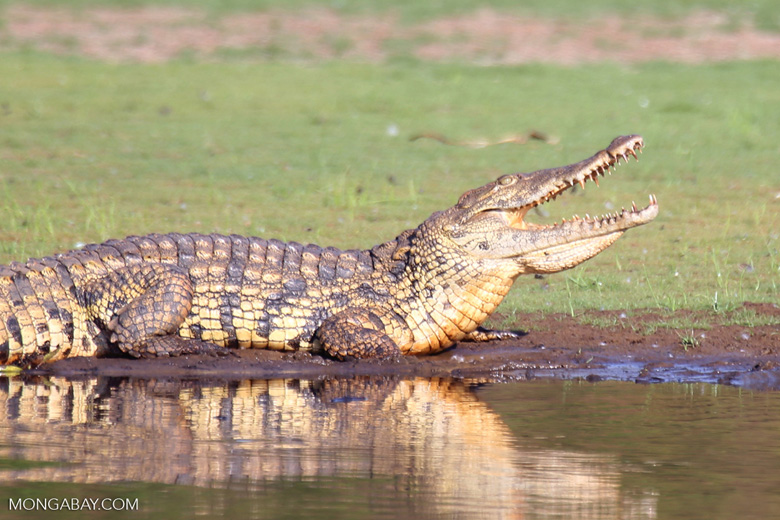 Nile crocodile with its mouth open