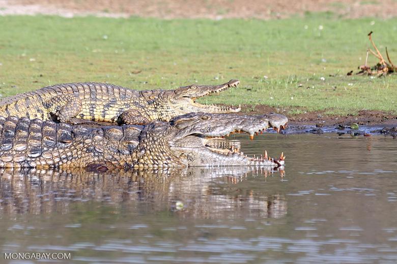 Nile crocodiles in Lake Ravelobe [madagascar_ankarafantsika_0676]