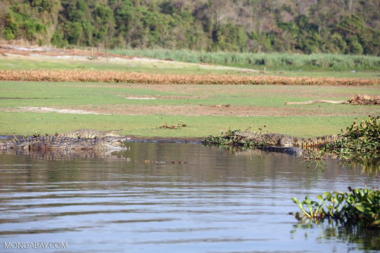 Nile crocodiles in Lake Ravelobe [madagascar_ankarafantsika_0680]