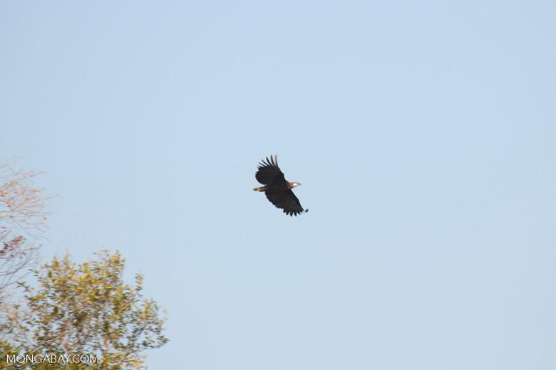 Madagascar fish eagle [madagascar_ankarafantsika_0683]
