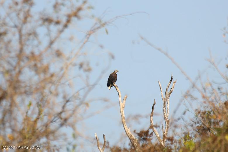 Madagascar fish eagle [madagascar_ankarafantsika_0686]