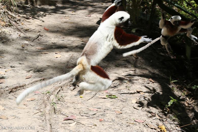 Coquerel's sifaka (Propithecus coquereli) [madagascar_ankarafantsika_0734]