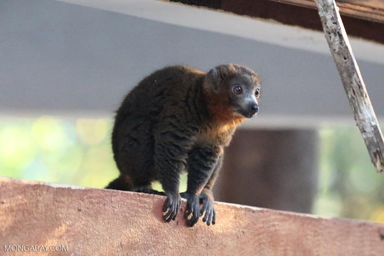 Male mongoose lemur (Eulemur mongoz) [madagascar_ankarafantsika_0739]