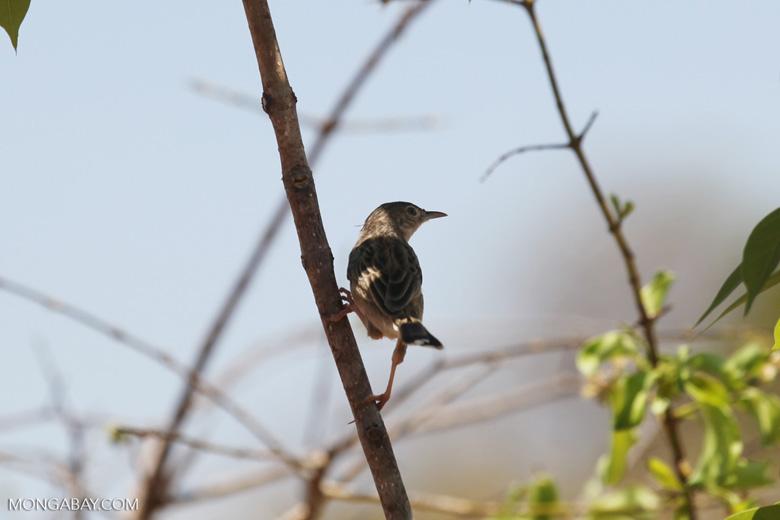 Bird [madagascar_ankarafantsika_0756]
