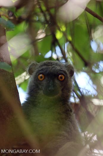 Female Sanford's brown lemur (Eulemur sanfordi) [madagascar_ankarana_0036]