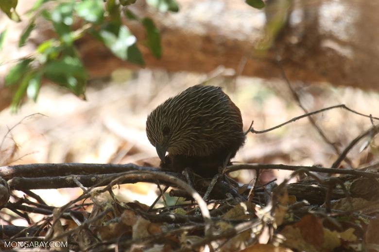 Juvenile Malagasy Coucal [madagascar_ankarana_0073]
