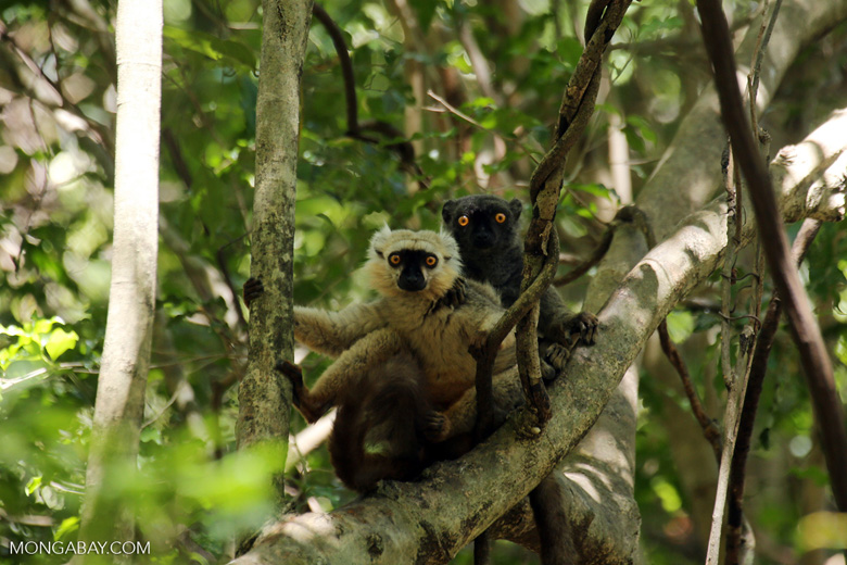 Pair of Sanford's brown lemur (Eulemur sanfordi)